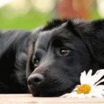 грустная собака лежит с ромашкой