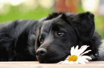 Описание причин, симптомов и способов лечения простатита у собак