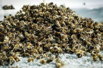 Лечение простатита пчелиным подмором (с рецептами и отзывами)
